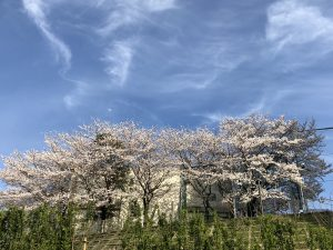 Cherry Blossoms at Jr. High